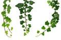 Tri odlišný zelený brečtan vetvičky