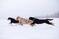 Three dogs running race Royalty Free Stock Photo