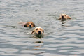 Three dogs swimming Royalty Free Stock Photo