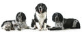 Three dogs three spaniels together on white background Stock Photos