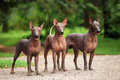 Three dogs of Xoloitzcuintli breed, mexican hairless dogs standing outdoors on summer day Royalty Free Stock Photo