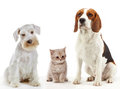 Three domestic animals cat and dogs sitting on a white background Royalty Free Stock Photo