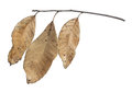 Three dry leaves isolated on white Royalty Free Stock Photo