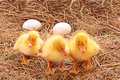 Three duckling guarding eggs Stock Images