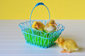 Three ducklings with an easter basket two in one sitting beside it Royalty Free Stock Photography