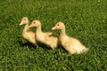 Three ducks on green grass Royalty Free Stock Photos