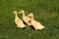 Three ducks on green grass Royalty Free Stock Image