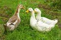 Three ducks on a green lawn domesticated summer outing Royalty Free Stock Images
