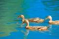 Three ducks move on water Royalty Free Stock Photo
