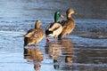 Three Ducks Strolling on a Frozen Lake in Winter Royalty Free Stock Photo