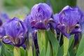 Three dwarf iris Royalty Free Stock Photo