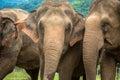 Three elephants in nature park Royalty Free Stock Photo