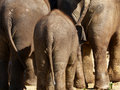 Three elephants seen from behind Stock Photo