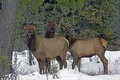 Three Elk in the Snow Stock Images