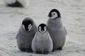 Three Emperor Penguin Chicks Huddled Together Royalty Free Stock Photo