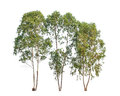 Three eucalyptus trees tropical tree in the northeast of thailand isolated on white background Royalty Free Stock Photo