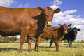 Three farm cows in a line Stock Images