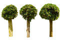 Three ficus tree on white with clipping path Stock Photo