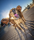 Three fierce dogs closeup of looking by playa de palma beach majorca spain Stock Images