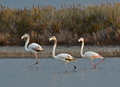 Three flamingos in the marsh Royalty Free Stock Photos