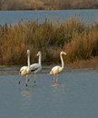 Three flamingos rested marsh sunset Royalty Free Stock Photography