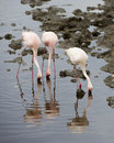 Three Flamingos standing in water with beaks in the water with reflections Royalty Free Stock Photo