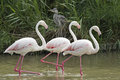Three flamingos walking in a lake. Royalty Free Stock Image
