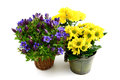 Three flowerpot of blue gentian and yellow chrysanthemums Royalty Free Stock Photo