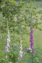 Three foxglove plants of the toxic digitalis plant in white and purple color Royalty Free Stock Photos