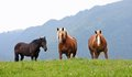 Three free horses stallions at the top of the mountain in summe summer Stock Photo