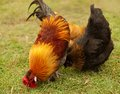 Three free range feeding bantam fowls forage green grass Royalty Free Stock Image