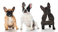 Three french bulldogs isolated on white Stock Images