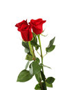 Three fresh red roses on the white background Royalty Free Stock Photo