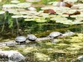 Three freshwater turtles sunning themselves on a log in a pond Royalty Free Stock Photo