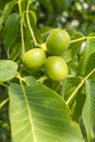 Three fruits walnut of juglans regia l persian english in the spring season Stock Image