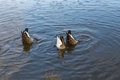 Three geese, bottoms up. Royalty Free Stock Photo