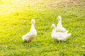 Three geese outdoor shot of in a park Stock Photos