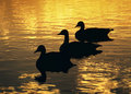 Three Geese Sunset Stock Photos