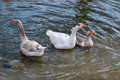 Three geese swimming in water a white and two brown Royalty Free Stock Photos
