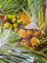 Three genenrations of coconuts generations cultivated in the coconut tree a coconut tree loaded with bunches coconut fruits from Stock Photo