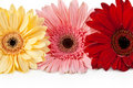 Three gerbera Royalty Free Stock Photos