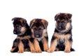 Three German shepherd puppies Royalty Free Stock Photo