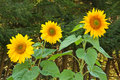 Three giant sunflowers Royalty Free Stock Photo