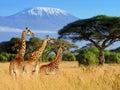 Three Giraffe On Kilimanjaro M...