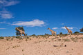 Three giraffe walking in the desert dry landscape with blue sky Royalty Free Stock Photo