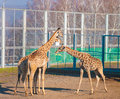 Three giraffes Stock Image