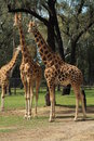 Three giraffes in a field enjoying the sunshine Stock Photos
