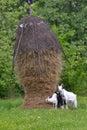 Three goats near the hay stack Royalty Free Stock Photo