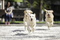 Three golden retrievers running in park Royalty Free Stock Images