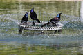 Three Grackle Birds in a Fountain Washington DC Stock Image